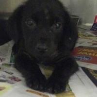 Adopt A Pet :: Loki - Fairfax Station, VA