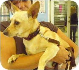 Cardigan Welsh Corgi/Chihuahua Mix Dog for adoption in San Clemente, California - JUANITA