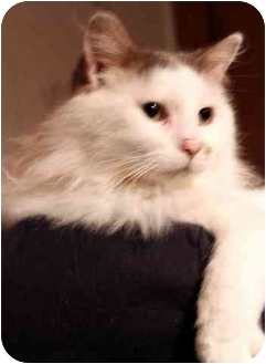 Domestic Longhair Cat for adoption in Sheboygan, Wisconsin - Smores