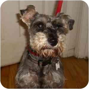 Schnauzer (Miniature) Dog for adoption in Redondo Beach, California - Maggie