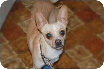 Chihuahua Dog for adoption in Rigaud, Quebec - Chloe