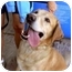 Photo 1 - Labrador Retriever Dog for adoption in Albuquerque, New Mexico - Bodo