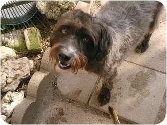 Border Terrier/Schnauzer (Standard) Mix Dog for adoption in Houston, Texas - Oscar