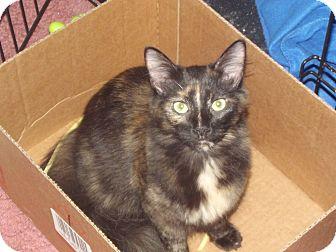 Domestic Shorthair Cat for adoption in Mauldin, South Carolina - Muddy