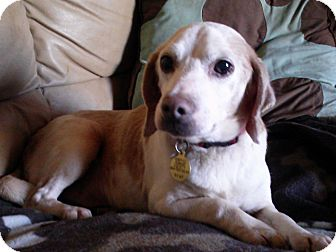 Beagle Mix Dog for adoption in Richmond, Virginia - Dusty