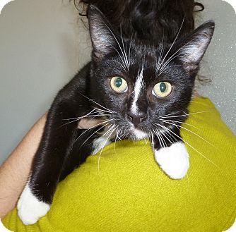 Domestic Shorthair Cat for adoption in Pueblo West, Colorado - Archer