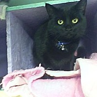 Adopt A Pet :: Onyx - Bay City, MI