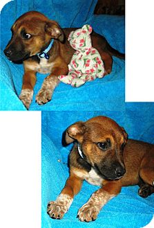 Terrier (Unknown Type, Medium) Mix Puppy for adoption in Olympia, Washington - Andy