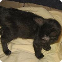 Adopt A Pet :: Sebastian - Chandler, AZ