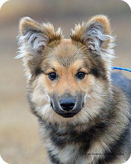 Sheltie, Shetland Sheepdog Mix Dog for adoption in Dacula, Georgia - Dudley