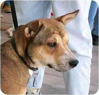 Basenji Mix Dog for adoption in Santa Fe, New Mexico - Fred