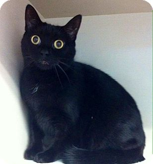 Domestic Shorthair Cat for adoption in Port Hope, Ontario - Bella