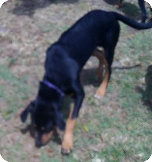 Rottweiler/Hound (Unknown Type) Mix Dog for adoption in Okeechobee, Florida - Tara