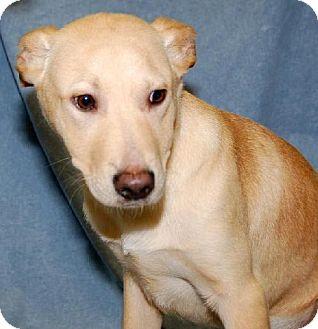 Labrador Retriever Mix Dog for adoption in Fort Walton Beach, Florida - Duke