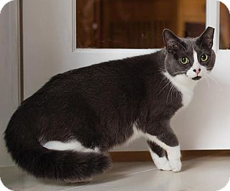 Domestic Shorthair Cat for adoption in Lombard, Illinois - Prancer