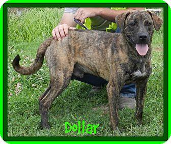Plott Hound/Labrador Retriever Mix Dog for adoption in Lawrenceburg, Tennessee - Dollar