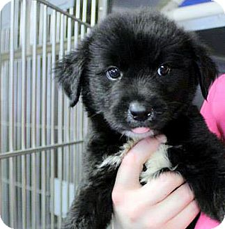 Border Collie Mix Puppy for adoption in Conway, New Hampshire - Cameron