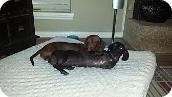 Dachshund Dog for adoption in Vancouver, British Columbia - Amelia & Braeden