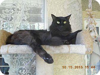 Domestic Mediumhair Cat for adoption in Laguna Woods, California - Patrick