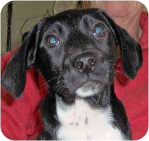 Beagle Mix Puppy for adoption in Warren, Pennsylvania - Esme