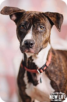 Pit Bull Terrier/Australian Cattle Dog Mix Dog for adoption in Portland, Oregon - Brownie