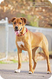 Rhodesian Ridgeback/Boxer Mix Dog for adoption in Cincinnati, Ohio - Wilma