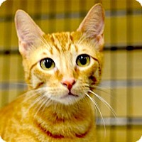 Domestic Shorthair Cat for adoption in Houston, Texas - Butterscotch