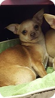 Chihuahua Dog for adoption in Reisterstown, Maryland - Thelma