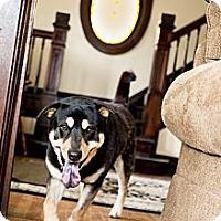 Adopt A Pet :: Bear - Youngstown, OH