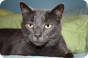 Domestic Shorthair Cat for adoption in Salem, Massachusetts - Mayer