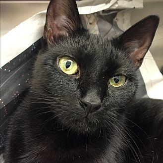 Domestic Shorthair Cat for adoption in Beacon, New York - Birdie