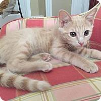 Domestic Shorthair Cat for adoption in Harrisonburg, Virginia - Oliver