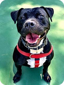 Pit Bull Terrier Mix Dog for adoption in Cranston, Rhode Island - Papi