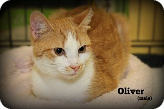 Domestic Shorthair Cat for adoption in Springfield, Pennsylvania - Oliver