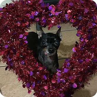 Miniature Pinscher Dog for adoption in Davie, Florida - Macho