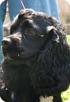 Cocker Spaniel Dog for adoption in Sugarland, Texas - Franke