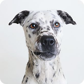 Mixed Breed (Medium)/Dalmatian Mix Dog for adoption in Wilmington, Delaware - Precious *NEEDS FOSTER*