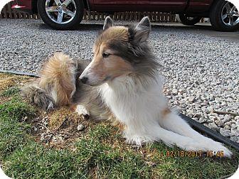Sheltie, Shetland Sheepdog Dog for adoption in New Castle, Pennsylvania - Pippin
