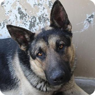 German Shepherd Dog Mix Dog for adoption in Red Bluff, California - BRUNO