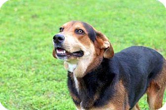 German Shepherd Dog/Hound (Unknown Type) Mix Dog for adoption in Washington, D.C. - ACE