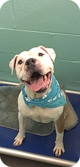 Pit Bull Terrier Mix Dog for adoption in Greensboro, North Carolina - Pinto