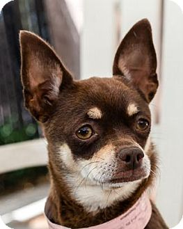 Chihuahua Dog for adoption in Pt. Richmond, California - MADISON