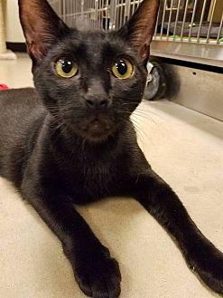 Domestic Shorthair Cat for adoption in Santa Ana, California - Liquorice