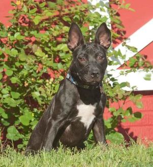 Terrier (Unknown Type, Small)/Shepherd (Unknown Type) Mix Dog for adoption in Glen Allen, Virginia - Ebony