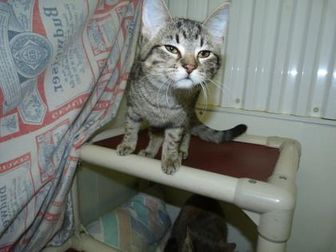 Domestic Shorthair/Domestic Shorthair Mix Cat for adoption in Meadow Lake, Saskatchewan - Juliet