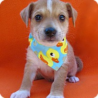 Terrier (Unknown Type, Small)/Spaniel (Unknown Type) Mix Puppy for adoption in Irvine, California - Peter