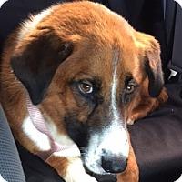 Adopt A Pet :: Baxter - Mount Holly, NJ