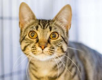 Domestic Shorthair/Domestic Shorthair Mix Cat for adoption in Independence, Missouri - Louise