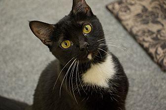 Domestic Shorthair Cat for adoption in Pasadena, California - Strawberry