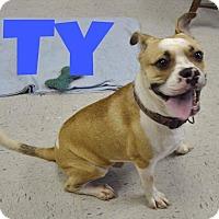 Adopt A Pet :: Ty-URGENT - Springfield, MA